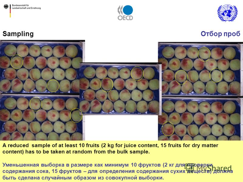 7 Sampling A reduced sample of at least 10 fruits (2 kg for juice content, 15 fruits for dry matter content) has to be taken at random from the bulk sample. Уменьшенная выборка в размере как минимум 10 фруктов (2 кг для проверки содержания сока, 15 ф