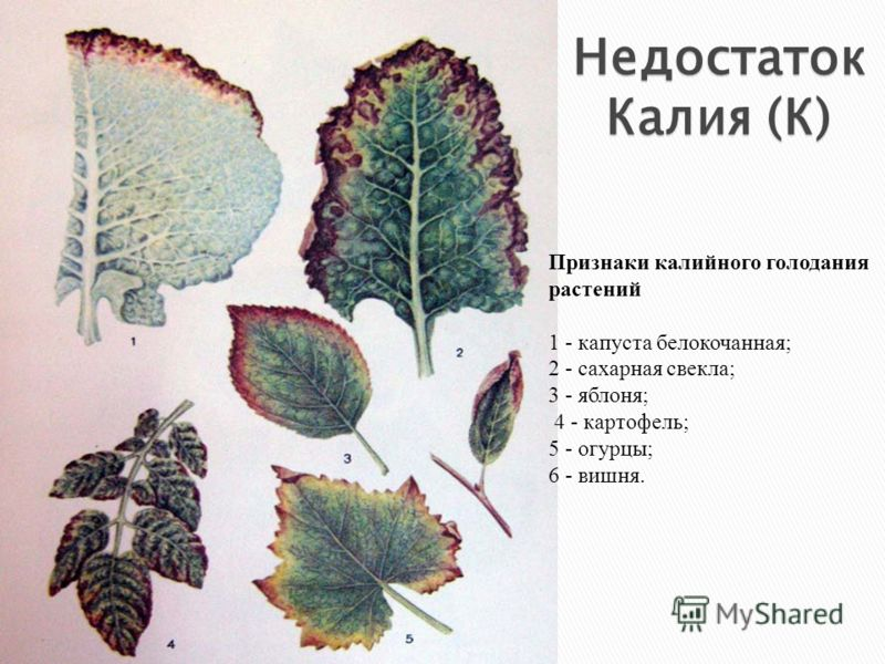 Признаки калийного голодания растений 1 - капуста белокочанная; 2 - сахарная свекла; 3 - яблоня; 4 - картофель; 5 - огурцы; 6 - вишня. Недостаток Калия (К)