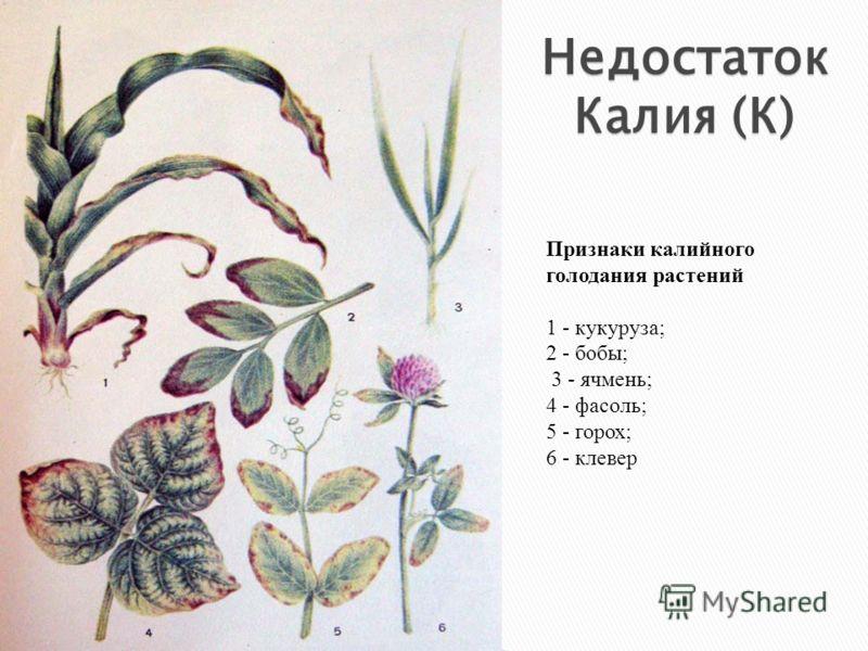 Признаки калийного голодания растений 1 - кукуруза; 2 - бобы; 3 - ячмень; 4 - фасоль; 5 - горох; 6 - клевер Недостаток Калия (К)