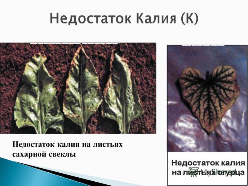 Недостаток калия на листьях сахарной свеклы Недостаток Калия (К)