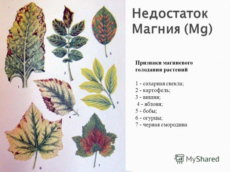 Признаки магниевого голодания растений 1 - сахарная свекла; 2 - картофель; 3 - вишня; 4 - яблоня; 5 - бобы; 6 - огурцы; 7 - черная смородина Недостаток Магния (Mg)