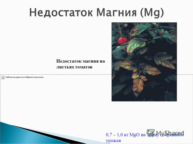 0,7 – 1,0 кг MgO на тонну собранного урожая Недостаток Магния (Mg) Недостаток магния на листьях томатов