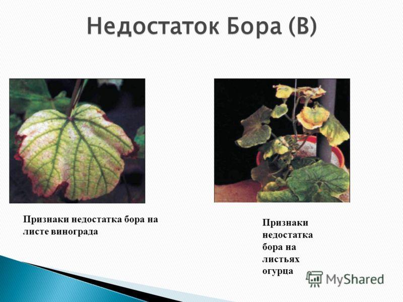 Признаки недостатка бора на листе винограда Признаки недостатка бора на листьях огурца Недостаток Бора (В)