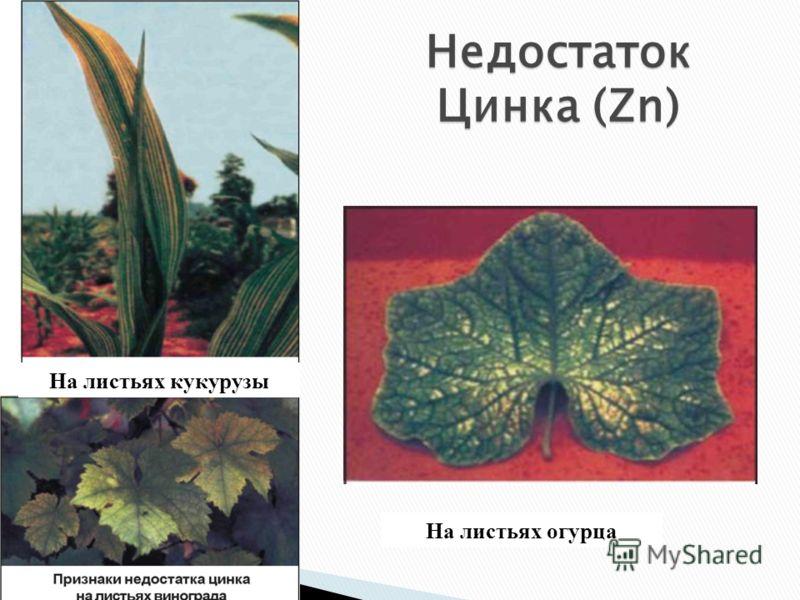 Недостаток Цинка (Zn) На листьях кукурузы На листьях огурца