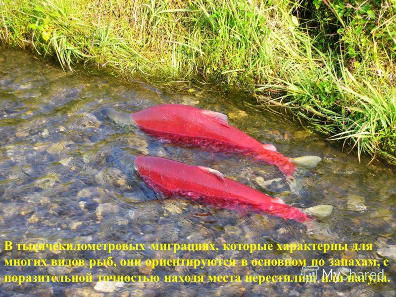В тысячекилометровых миграциях, которые характерны для многих видов рыб, они ориентируются в основном по запахам, с поразительной точностью находя места нерестилищ или нагула.