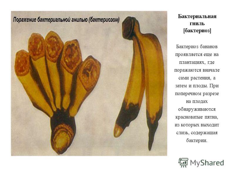 Бактериоз бананов проявляется еще на плантациях, где поражаются вначале сами растения, а затем и плоды. При поперечном разрезе на плодах обнаруживаются красноватые пятна, из которых выходит слизь, содержащая бактерии.