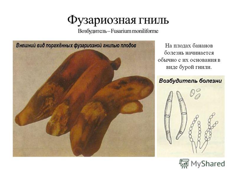 На плодах бананов болезнь начинается обычно с их основания в виде бурой гнили.