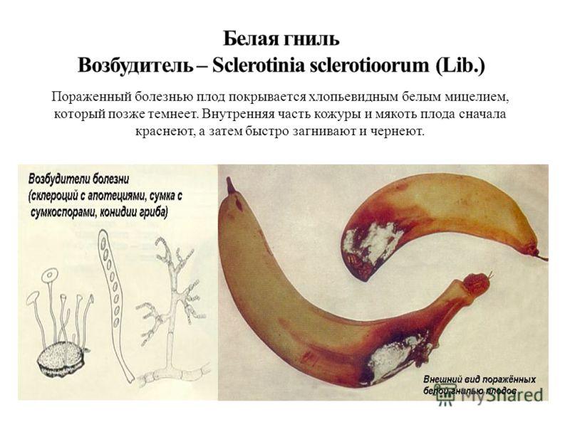 Пораженный болезнью плод покрывается хлопьевидным белым мицелием, который позже темнеет. Внутренняя часть кожуры и мякоть плода сначала краснеют, а затем быстро загнивают и чернеют.