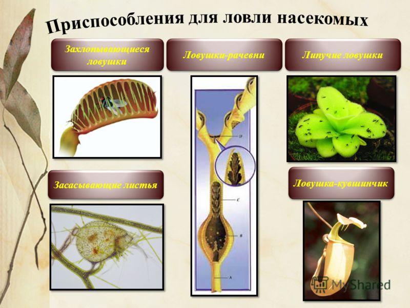 Захлопывающиеся ловушки Ловушка-кувшинчик Липучие ловушки Засасывающие листья Ловушки-рачевни