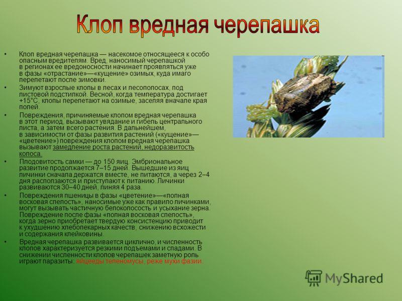 Клоп вредная черепашка насекомое относящееся к особо опасным вредителям. Вред, наносимый черепашкой в регионах ее вредоносности начинает проявляться уже в фазы «отрастание»«кущение» озимых, куда имаго перелетают после зимовки. Зимуют взрослые клопы в