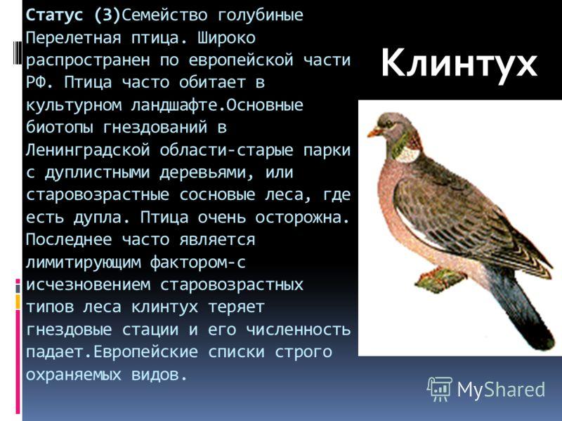Статус (3)Семейство голубиные Перелетная птица. Широко распространен по европейской части РФ. Птица часто обитает в культурном ландшафте.Основные биотопы гнездований в Ленинградской области-старые парки с дуплистными деревьями, или старовозрастные со