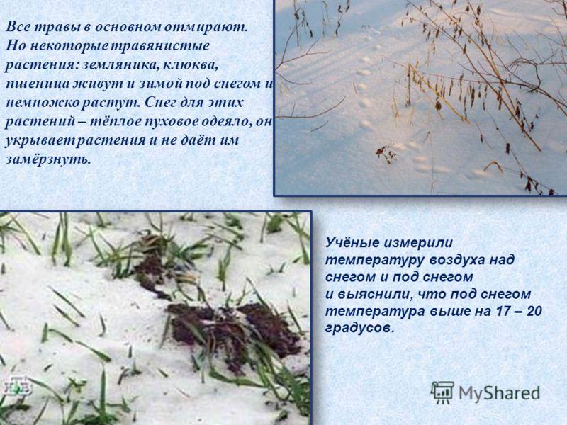 Все травы в основном отмирают. Но некоторые травянистые растения: земляника, клюква, пшеница живут и зимой под снегом и немножко растут. Снег для этих растений – тёплое пуховое одеяло, он укрывает растения и не даёт им замёрзнуть. Учёные измерили тем
