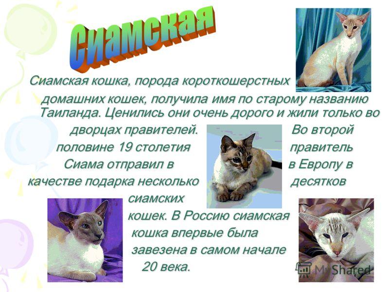 Сибирская кошка, порода полудлиношерстных полудлиношерстных домашних кошек. Выведена домашних кошек. Выведена в России. Происходит по-видимому, от скрещивания в России. Происходит по-видимому, от скрещивания местных аборигенных кошек с завезёнными из