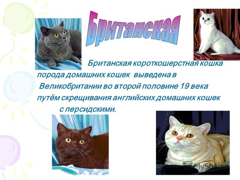 Бирманская кошка, порода полудлиношерстных домашних кошек. Произошла от скрещивания сиамских кошек. И обладает шерстью «персов» и концевой окраской «сиамов». По преданию была привезена из Бирмы от будийских монахов и оказались в 1919 во Франции, где