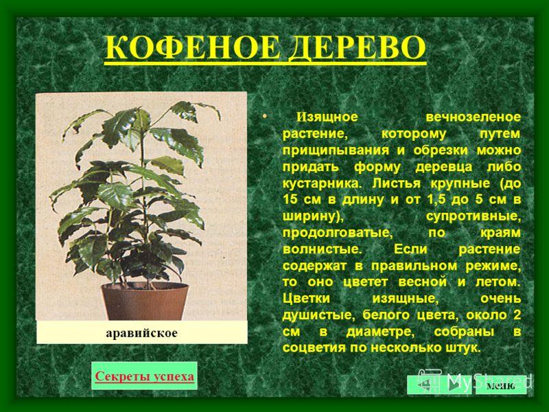 КАЛАНХОЭ Светолюбивое растение с мясистыми листьями и цветками, собранными в густые зонтиковидные соцветия. Цветки ярко- красные, но бывают белые, желтые, оранжевые, фиолетовые. Цветет зимой. Секреты успеха блосфельда меню