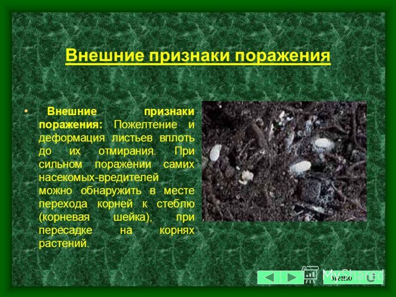 КОРНЕВОЙ ЧЕРВЕЦ Некоторые виды мучнистых червецов могут питаться не только на надземных, но и на подземных частях растения. Корневой червец тоже белого цвета, длиной 2-3 мм, поселяется на корнях в хорошо аэрируемом субстрате. Внешним признаком пораже