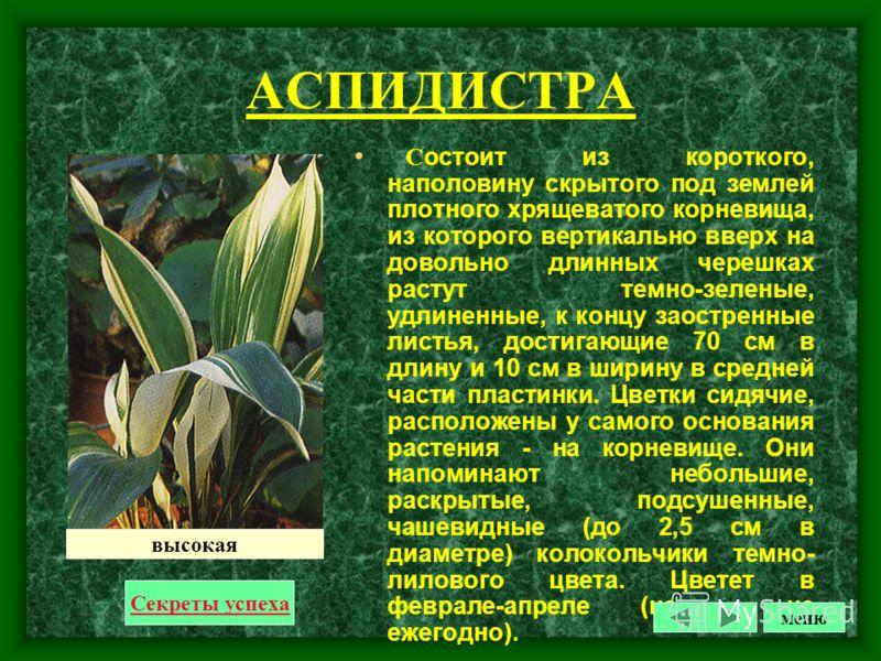 АУКУБА Субтропический кустарник с блестящими кожистыми листьями. На которых словно солнечные блики разбросаны золотистые пятна.Родина – Япония.подходящее растение для слабо освещенного места в не отапливаемом зимой помещение.В теплом помещениес сухим