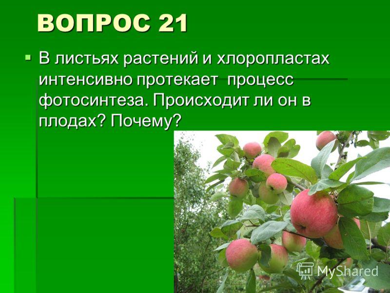 ВОПРОС 21 В листьях растений и хлоропластах интенсивно протекает процесс фотосинтеза. Происходит ли он в плодах? Почему? В листьях растений и хлоропластах интенсивно протекает процесс фотосинтеза. Происходит ли он в плодах? Почему?