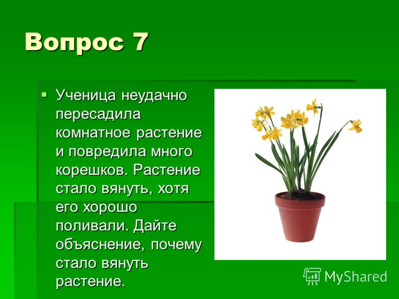 Вопрос 7 Ученица неудачно пересадила комнатное растение и повредила много корешков. Растение стало вянуть, хотя его хорошо поливали. Дайте объяснение, почему стало вянуть растение. Ученица неудачно пересадила комнатное растение и повредила много коре