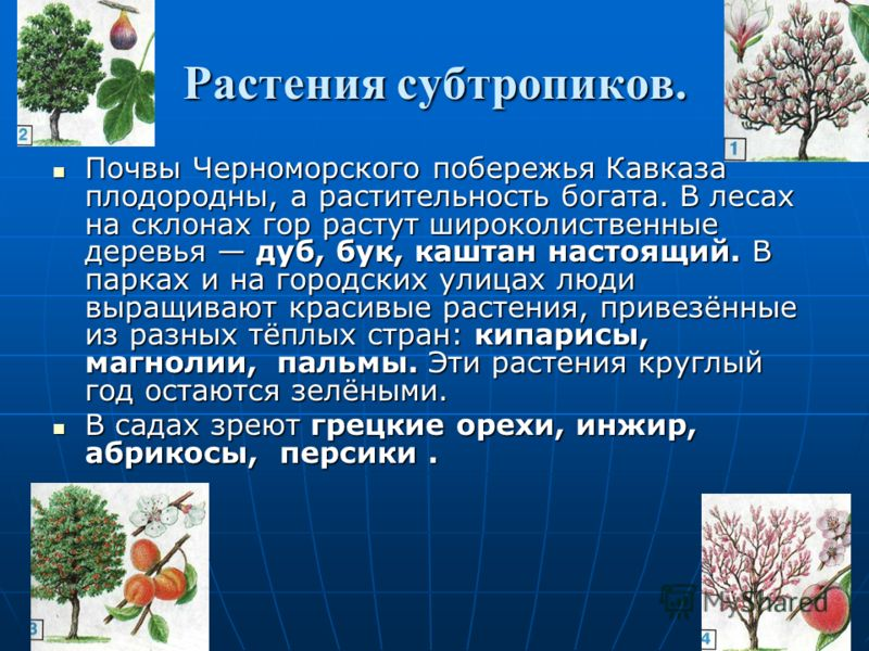 Субтропическая зона ПРИРОДА ЧЕРНОМОРСКОГО ПОБЕРЕЖЬЯ КАВКАЗА Удивительна, не похожа на природу других мест нашей страны природа Черноморского побережья Кавказа. Удивительна, не похожа на природу других мест нашей страны природа Черноморского побереж