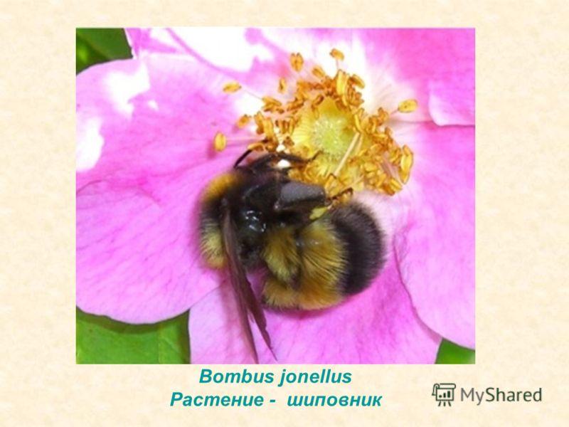 Bombus jonellus Растение - шиповник
