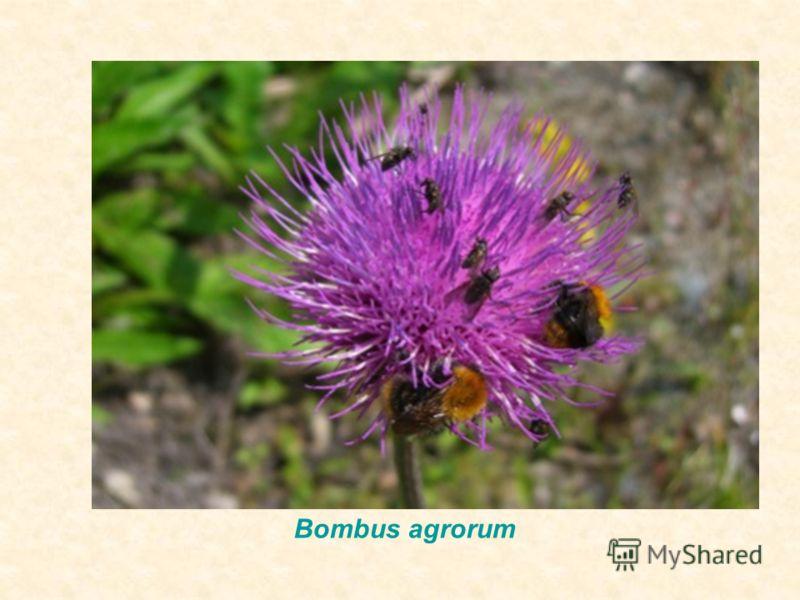 Bombus agrorum