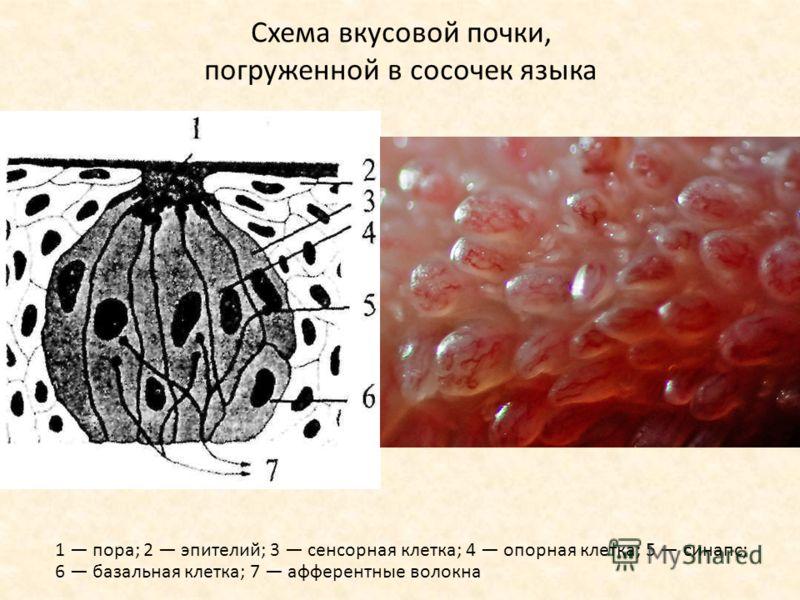 Схема вкусовой почки, погруженной в сосочек языка 1 пора; 2 эпителий; 3 сенсорная клетка; 4 опорная клетка; 5 синапс; 6 базальная клетка; 7 афферентные волокна