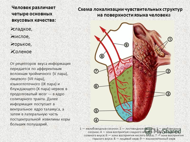 Человек различает четыре основных вкусовых качества: Схема локализации чувствительных структур на поверхности языка человека 1 желобовидные сосочки; 2 листовидные сосочки; 3 грибовидные сосочки; 4 зона восприятия сладкого вкуса; 5 зона восприятия сол