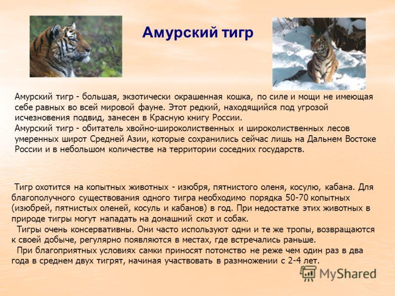 Амурский тигр Амурский тигр - большая, экзотически окрашенная кошка, по силе и мощи не имеющая себе равных во всей мировой фауне. Этот редкий, находящийся под угрозой исчезновения подвид, занесен в Красную книгу России. Амурский тигр - обитатель хвой