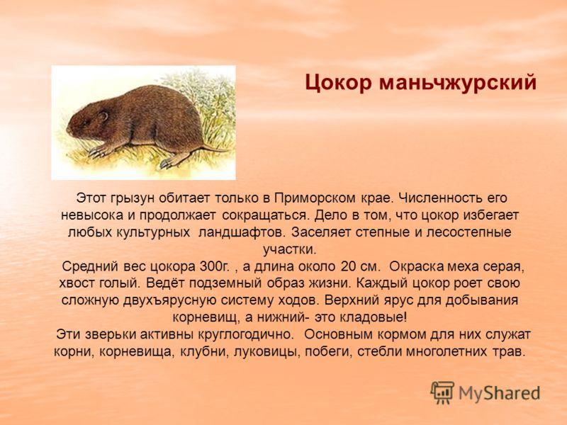 Цокор маньчжурский Этот грызун обитает только в Приморском крае. Численность его невысока и продолжает сокращаться. Дело в том, что цокор избегает любых культурных ландшафтов. Заселяет степные и лесостепные участки. Средний вес цокора 300г., а длина