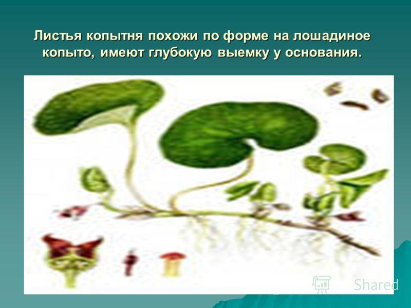 Листья копытня похожи по форме на лошадиное копыто, имеют глубокую выемку у основания.