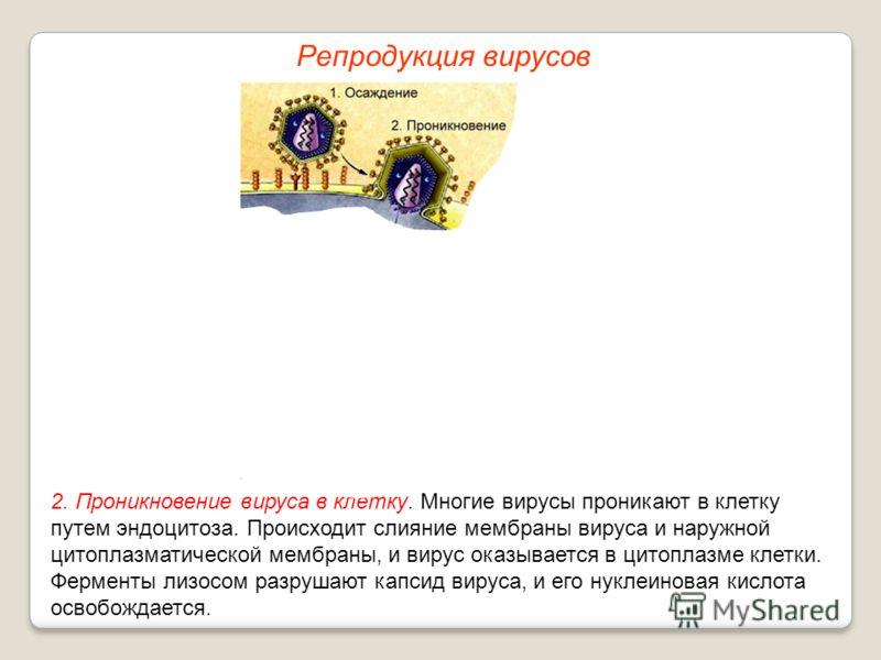 2. Проникновение вируса в клетку. Многие вирусы проникают в клетку путем эндоцитоза. Происходит слияние мембраны вируса и наружной цитоплазматической мембраны, и вирус оказывается в цитоплазме клетки. Ферменты лизосом разрушают капсид вируса, и его н