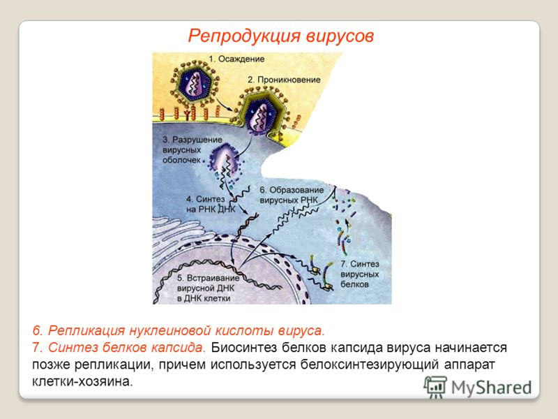 6. Репликация нуклеиновой кислоты вируса. 7. Синтез белков капсида. Биосинтез белков капсида вируса начинается позже репликации, причем используется белоксинтезирующий аппарат клетки-хозяина. Репродукция вирусов