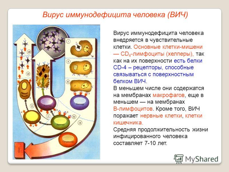 Вирус иммунодефицита человека (ВИЧ) Вирус иммунодефицита человека внедряется в чувствительные клетки. Основные клетки-мишени CD 4 -лимфоциты (хелперы), так как на их поверхности есть белки СD-4 – рецепторы, способные связываться с поверхностным белко