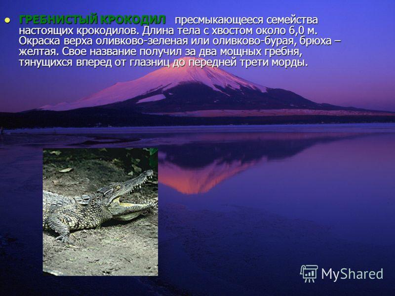 ГРЕБНИСТЫЙ КРОКОДИЛ пресмыкающееся семейства настоящих крокодилов. Длина тела с хвостом около 6,0 м. Окраска верха оливково-зеленая или оливково-бурая, брюха – желтая. Свое название получил за два мощных гребня, тянущихся вперед от глазниц до передне
