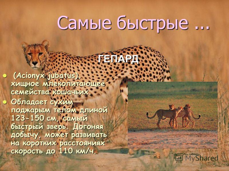 Самые быстрые... ( (Acionyx jubatus), хищное млекопитающее семейства кошачьих. Обладает сухим поджарым телом длиной 123-150 см, самый быстрый зверь. Догоняя добычу, может развивать на коротких расстояниях скорость до 110 км/ч. ГЕПАРД