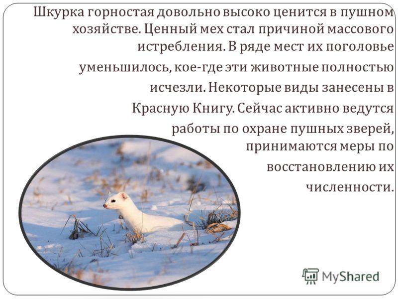 Горностай, ценный пушной зверёк семейства куньих. Для человека, не имеющего биологического образования, куньи – это роскошный мех, из которого шьют шубы и шапки. Промысловое значение имеют почти все куньи. На этих зверей охотятся, их разводят в специ