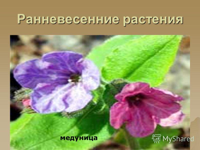 Ранневесенние растения медуница