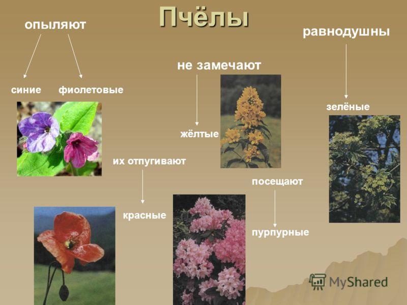 Пчёлы опыляют синиефиолетовые не замечают жёлтые равнодушны зелёные их отпугивают красные посещают пурпурные