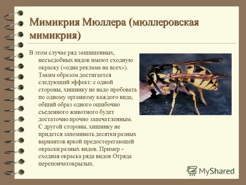 Мимикрия Мюллера (мюллеровская мимикрия) В этом случае ряд защищенных, несъедобных видов имеют сходную окраску («одна реклама на всех»). Таким образом достигается следующий эффект: с одной стороны, хищнику не надо пробовать по одному организму каждог