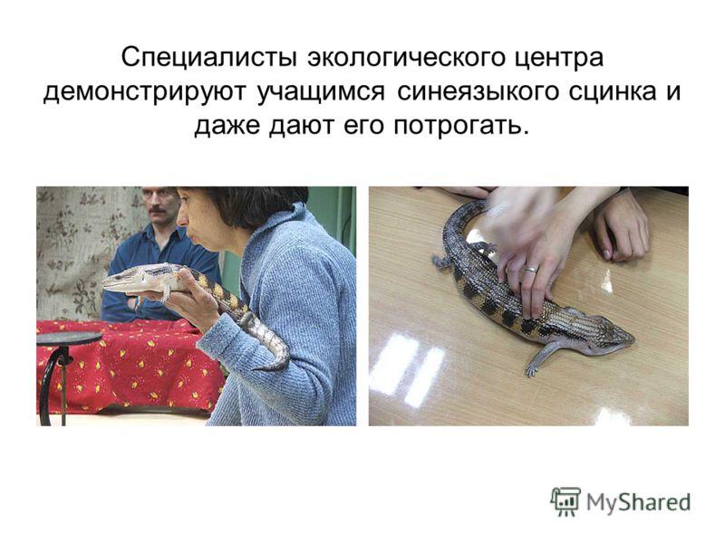 Специалисты экологического центра демонстрируют учащимся синеязыкого сцинка и даже дают его потрогать.