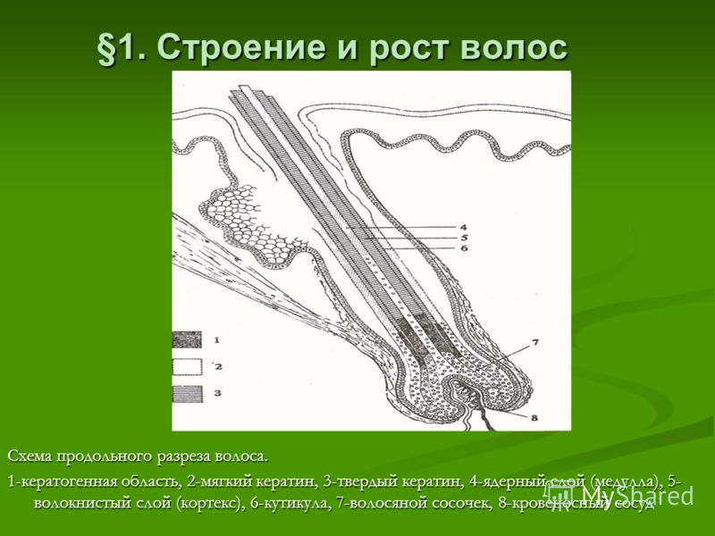 §1. Строение и рост волос Схема продольного разреза волоса. 1-кератогенная область, 2-мягкий кератин, 3-твердый кератин, 4-ядерный слой (медулла), 5- волокнистый слой (кортекс), 6-кутикула, 7-волосяной сосочек, 8-кровеносный сосуд