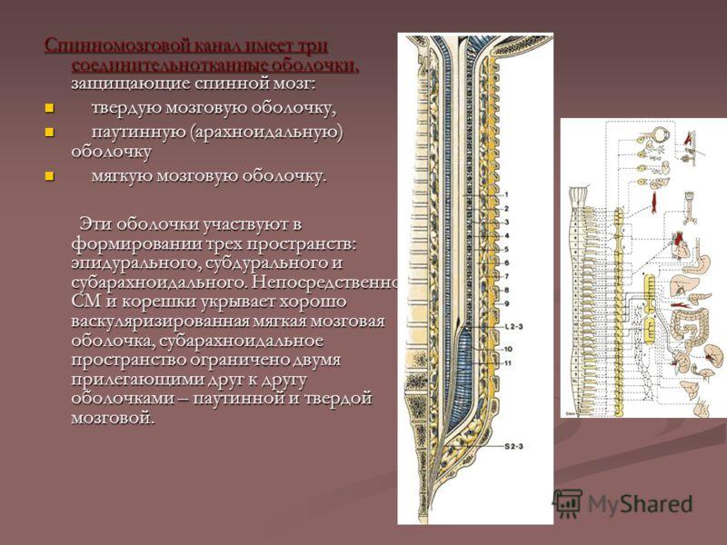 Спинномозговой канал имеет три соединительнотканные оболочки, защищающие спинной мозг: твердую мозговую оболочку, твердую мозговую оболочку, паутинную (арахноидальную) оболочку паутинную (арахноидальную) оболочку мягкую мозговую оболочку. мягкую мозг