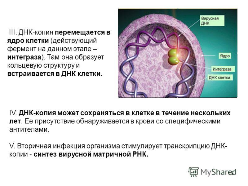 15 III. ДНК-копия перемещается в ядро клетки (действующий фермент на данном этапе – интеграза). Там она образует кольцевую структуру и встраивается в ДНК клетки. IV. ДНК-копия может сохраняться в клетке в течение нескольких лет. Ее присутствие обнару
