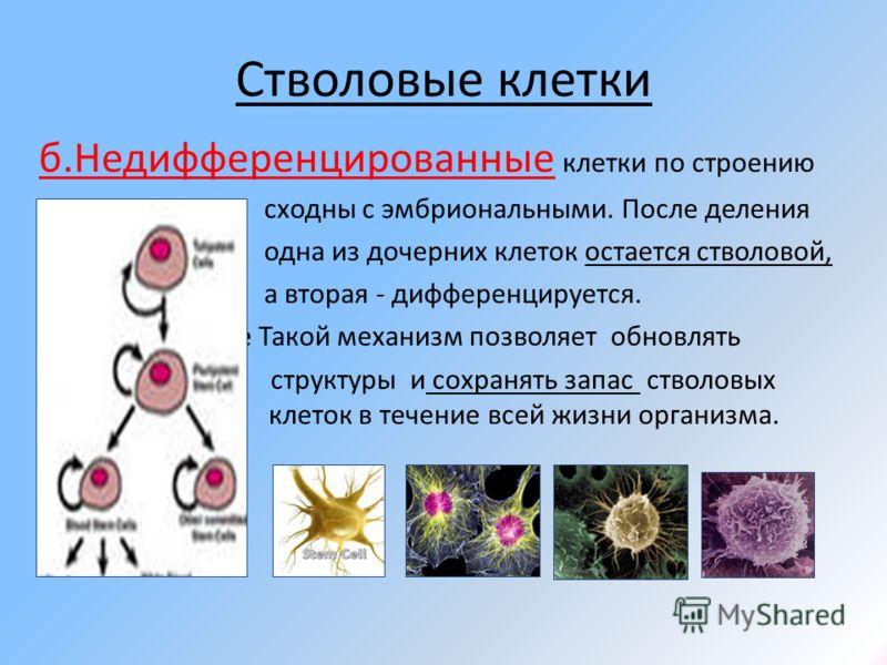 Стволовые клетки б.Недифференцированные клетки по строению сходны с эмбриональными. После деления одна из дочерних клеток остается стволовой, а вторая - дифференцируется. е Такой механизм позволяет обновлять структуры и сохранять запас стволовых клет