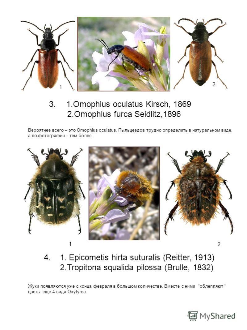 3. 1.Omophlus oculatus Kirsch, 1869 2.Omophlus furca Seidlitz,1896 Вероятнее всего – это Omophlus oculatus. Пыльцеедов трудно определить в натуральном виде, а по фотографии – тем более. 1 2 4. 1. Epicometis hirta suturalis (Reitter, 1913) 2.Tropitona