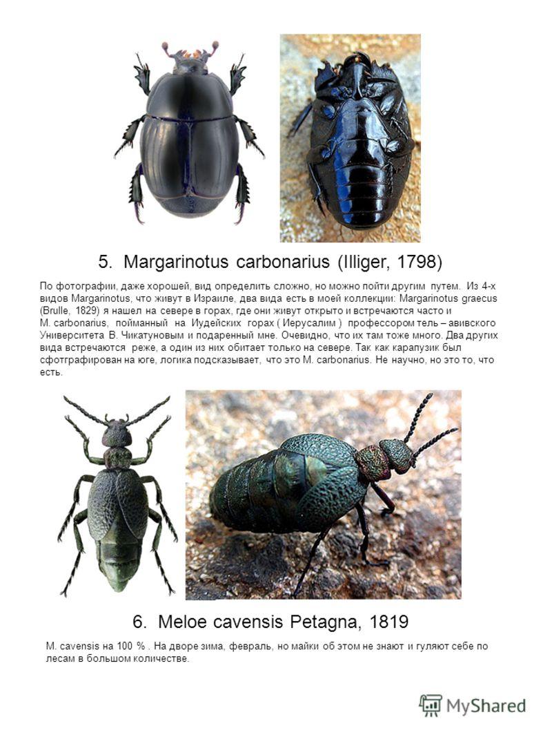 5. Margarinotus carbonarius (Illiger, 1798) По фотографии, даже хорошей, вид определить сложно, но можно пойти другим путем. Из 4-х видов Margarinotus, что живут в Израиле, два вида есть в моей коллекции: Margarinotus graecus (Brulle, 1829) я нашел н