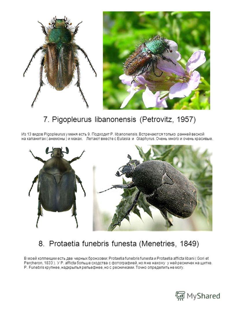 7. Pigopleurus libanonensis (Petrovitz, 1957) Из 13 видов Pigopleurus у меня есть 9. Подходит P. libanonensis. Встречаются только ранней весной на каланитах ( анемоны ) и маках. Летают вместе с Eulasia и Glaphyrus. Очень много и очень красивые. 8. Pr