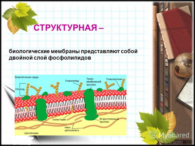 СТРУКТУРНАЯ – биологические мембраны представляют собой двойной слой фосфолипидов