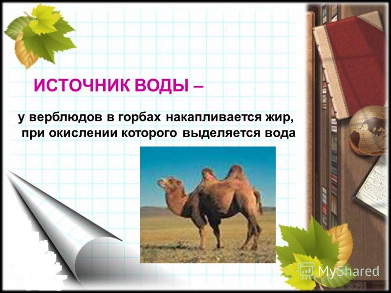 ИСТОЧНИК ВОДЫ – у верблюдов в горбах накапливается жир, при окислении которого выделяется вода